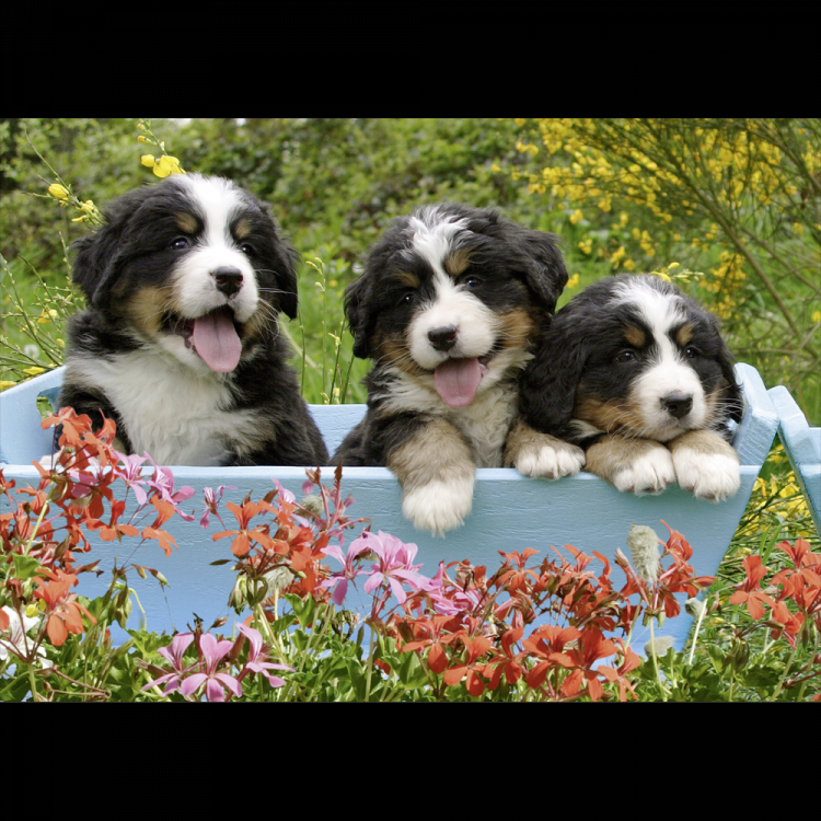 Puzzle 1000 piese 3 Puppies